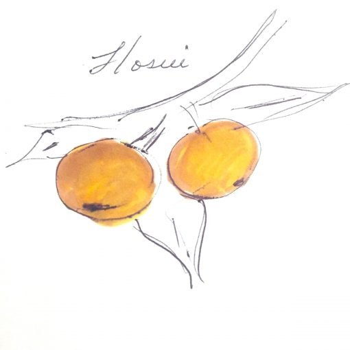 two round yellow colored pears on a tree branch