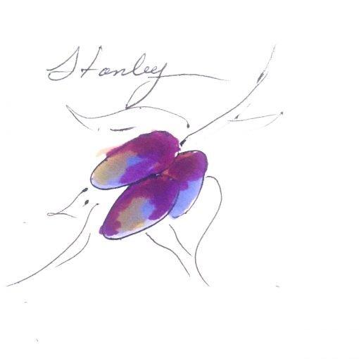 three dark purple and blue plum fruit on plum tree variety called stanley